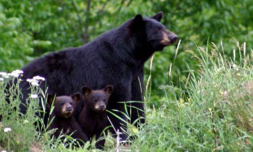 Zdjecie KANADA / Ontario / Haliburton / Niedźwiedzica i dwa małe niedźwiadki