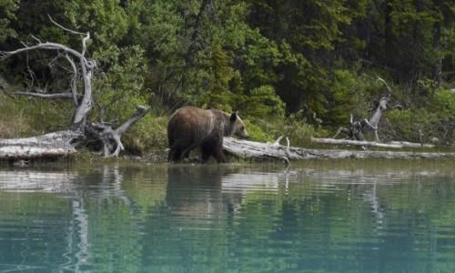 Zdjecie KANADA / Jasper NP / Maligne Lake / Grizzly z Kajaku