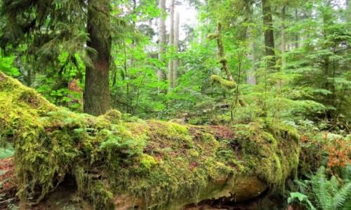 Zdjecie KANADA / Wyspa Vancouver / MacMillan Provincial Park / Park leśny