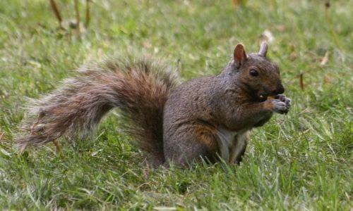Zdjęcie KANADA / Ontario / Toronto / kanadyjska wiewiórka