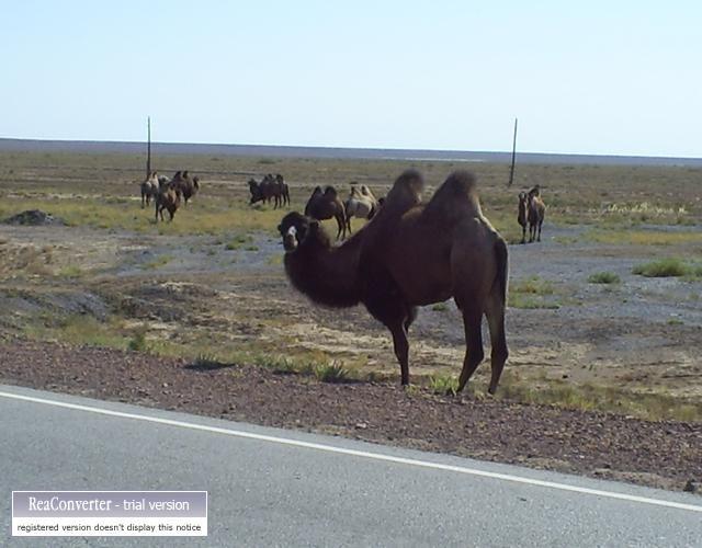 Zdjęcia: bałchasz almata, wielbłąd, KAZACHSTAN