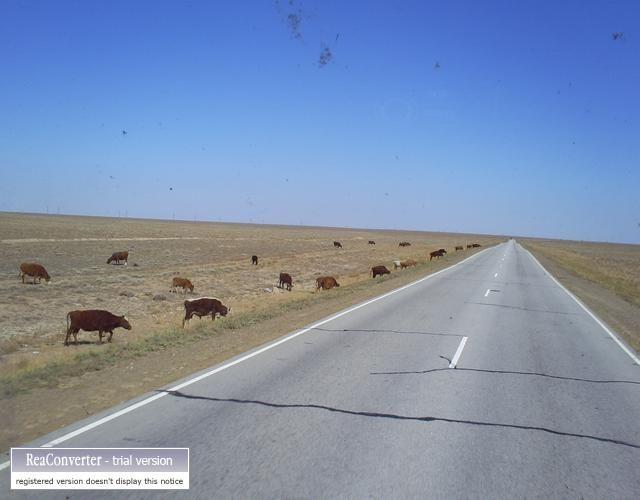 Zdj�cia: almata ba�chasz, Kr�wki, KAZACHSTAN