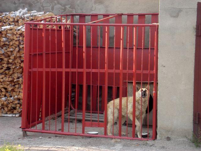 Zdjęcia: Kokczetaw, Płn.Kazachstan, wilk podwórkowy, KAZACHSTAN