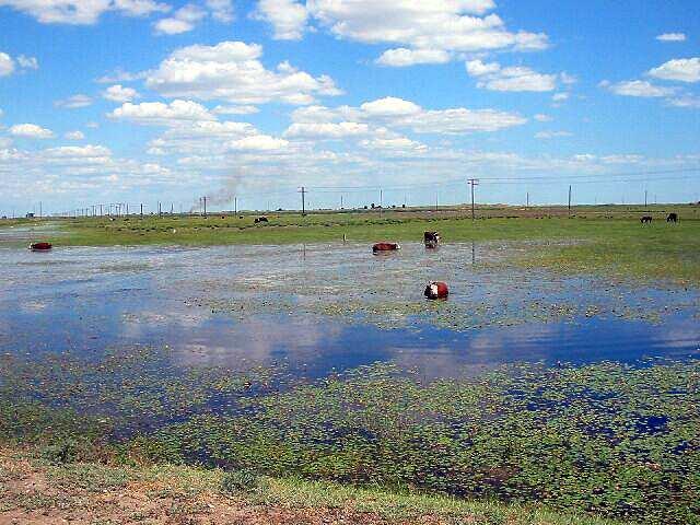 Zdjęcia: okolice Atyrau, Kapiace sie krowy, KAZACHSTAN