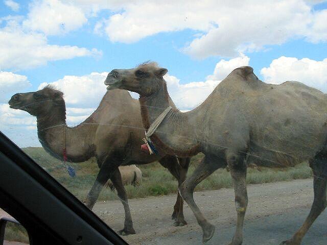 Zdjęcia: Atyrau, Wyprzedzajace wielblady, KAZACHSTAN