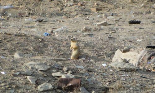 Zdjecie KAZACHSTAN / Bajkonur / przy wjeżdzie do miasta / Suseł na śmietniku....