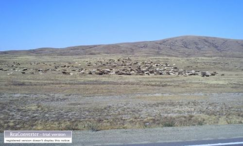 Zdjecie KAZACHSTAN / brak / gdzies w Kazachstanie / krówki