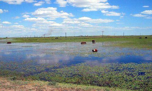 KAZACHSTAN / brak / okolice Atyrau / Kapiace sie krowy