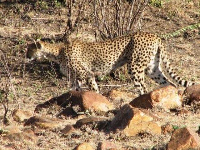 Zdjęcia: Amboseli, gepard, KENIA