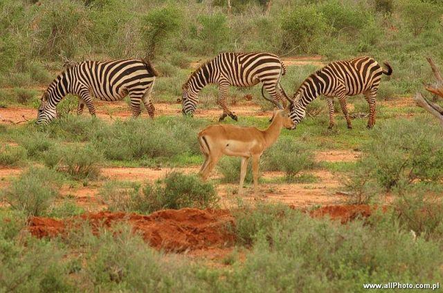 Zdjęcia: Tsavo East, Tsavo East, Zebry, park narodowy Tsavo East, KENIA