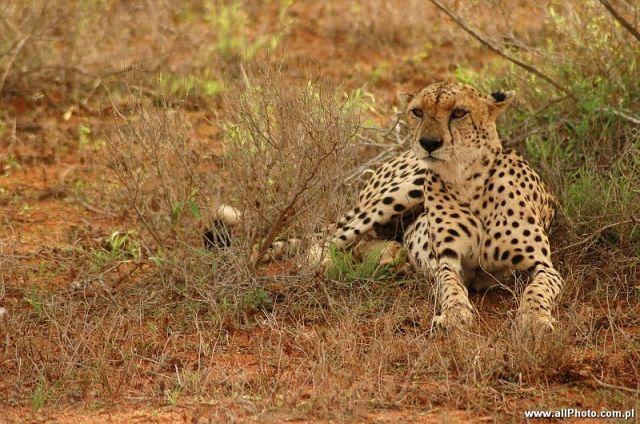 Zdj�cia: Tsavo East, Tsavo East, Gepard, Park narodowy Tsavo East, KENIA