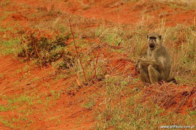 Zdjęcia: Tsavo East, Tsavo East, Pawiany w parku narodowym Tsavo East, KENIA