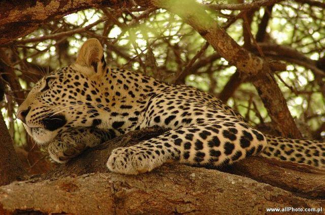Zdjęcia: Tsavo East, Tsavo East, Gepard w parku narodowym Tsavo East, KENIA