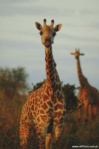 Zdjęcia: Tsavo East, Tsavo East, Zyrafy w parku narodowym Tsavo East, KENIA