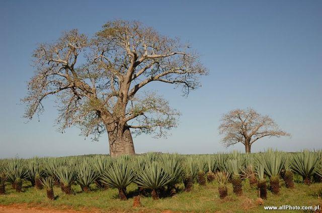 Zdjęcia: Watamu, Watamu, Plantacja aloesu i drzewa baobabu przy drodze z Malindi do Mombasy, KENIA