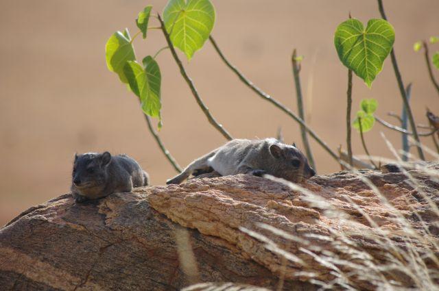 Zdjęcia: Sawanna, Park Tsavo, Sjesta, KENIA