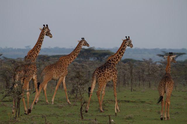 Zdjęcia: Masai Mara, Masai Mara, bez tytułu, KENIA