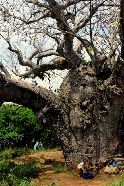 Zdjęcia: city, Mombasa, pranie pod baobabem , KENIA