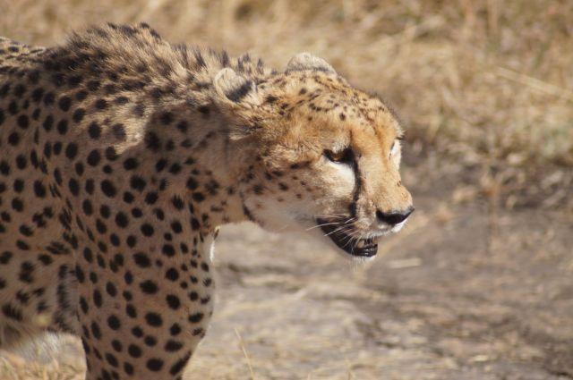 Zdjęcia: Masai Mara, Bardzo bliskie spotkania!, KENIA