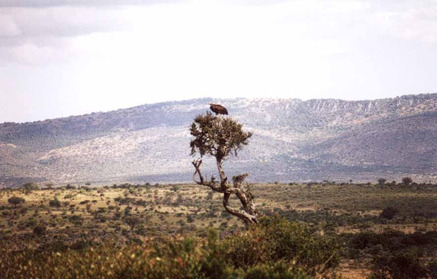 Zdjęcia: Sawanna, MASAJ MARA, Samotny Sęp, KENIA