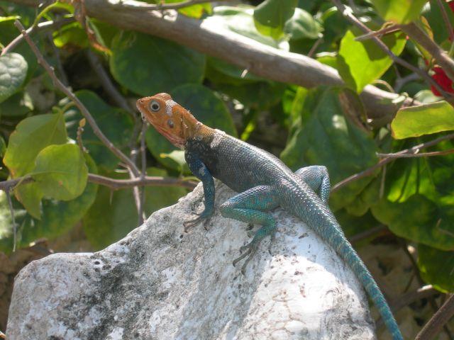 Zdjęcia: Diani Reef, Jaszczur, KENIA