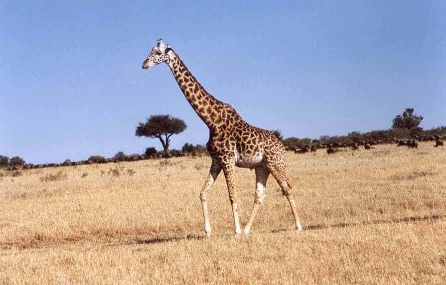 """Zdjęcia: SAWANNA, MASAI MARA, Jej """"Wyskokość"""", KENIA"""