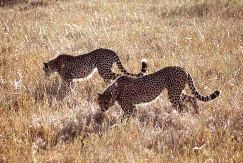 Zdjęcia: SAWANNA, MASAI MARA, Gepardy, KENIA