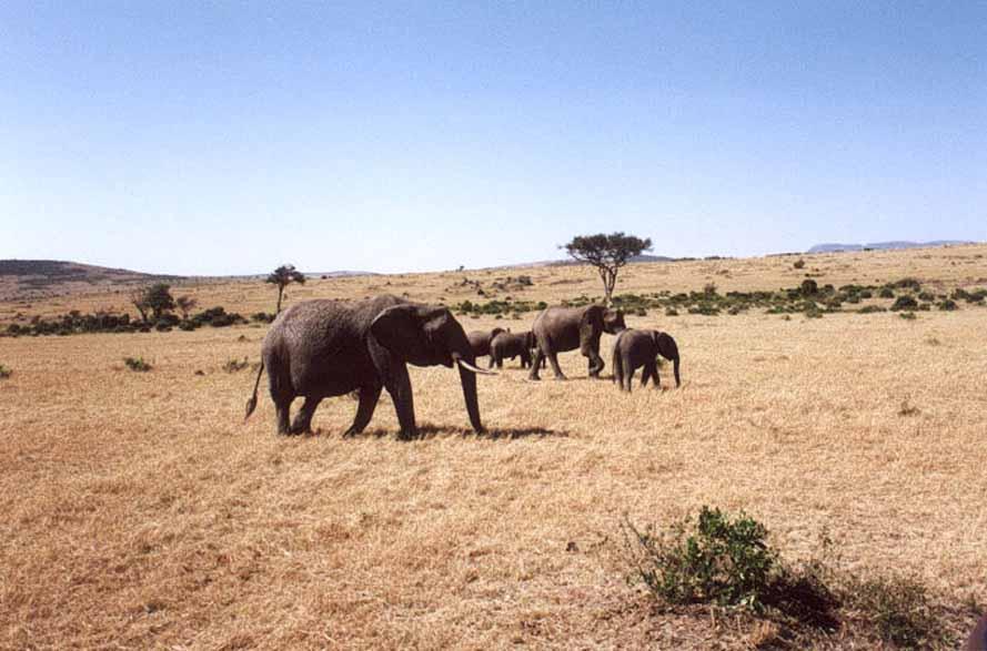 Zdj�cia: SAWANNA, MASAI MARA, Waga Ci�ka, KENIA