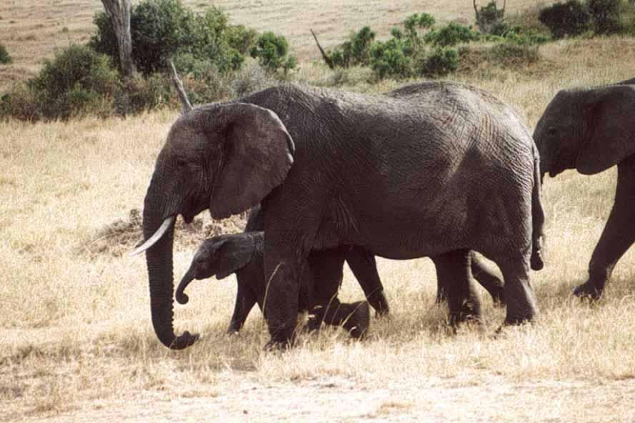 """Zdjęcia: SAWANNA, MASAI MARA, Stado z """"małymi"""", KENIA"""