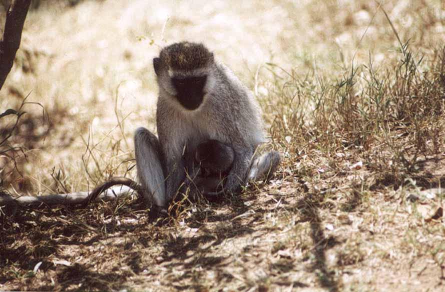 """Zdjęcia: MARA RIVER, SARANGETI, Małpka """"przy cycu"""", KENIA"""