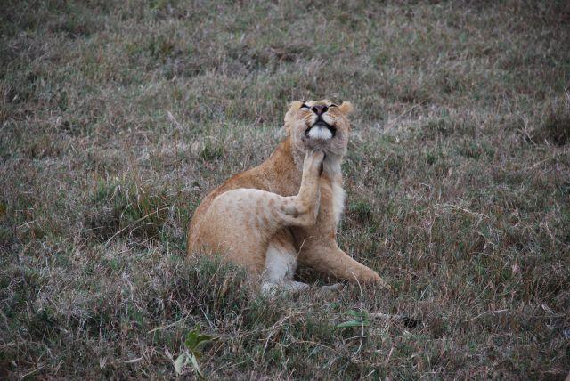 Zdjęcia: MASAI MARA, MASAI MARA, LEW NA SAFARI, KENIA