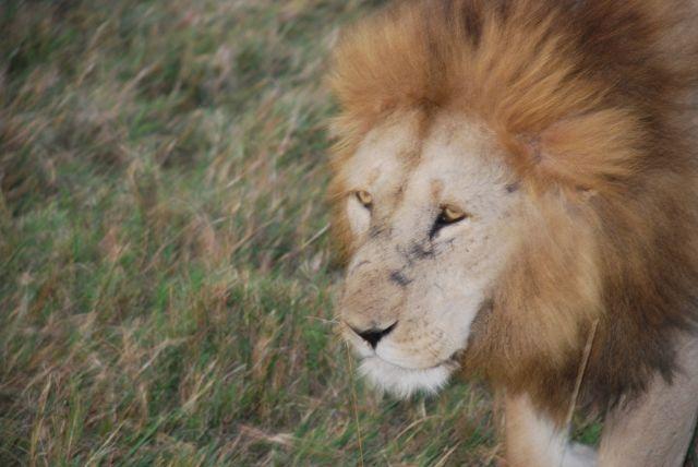 Zdj�cia: SAFARI, MASAI MARA, LEW NA SAFARI, KENIA