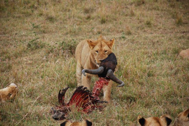 Zdjęcia: SAFARI, Masai Mara, OBIAD LWA, KENIA