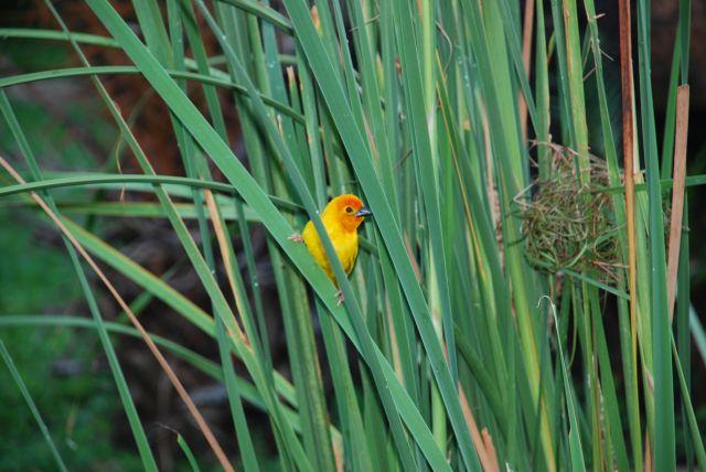 Zdjęcia: Okolice przy hotelu Shaznu, Mombasa, Żółty ptaszek, KENIA