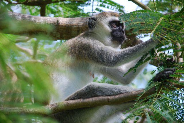 Zdjęcia: Wybrzeże, Wybrzeże, Małpa, KENIA