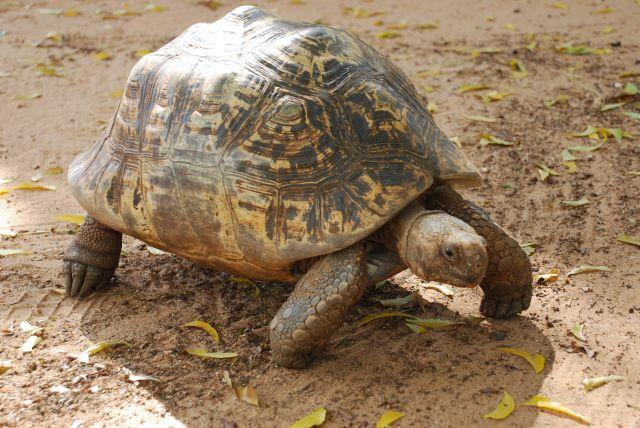 Zdjęcia: Wybrzeże, Wybrzeże, Żółw, KENIA