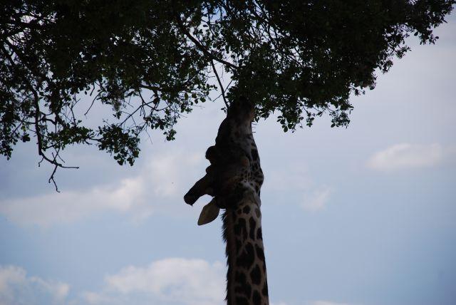 Zdjęcia: MASAI MARA Safari, MASAI MARA, ŻYRAFA, KENIA