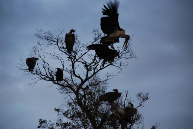 Zdjęcia: MASAI MARA Safari, MASAI MARA, MARABUT ATAKUJE SĘPA, KENIA