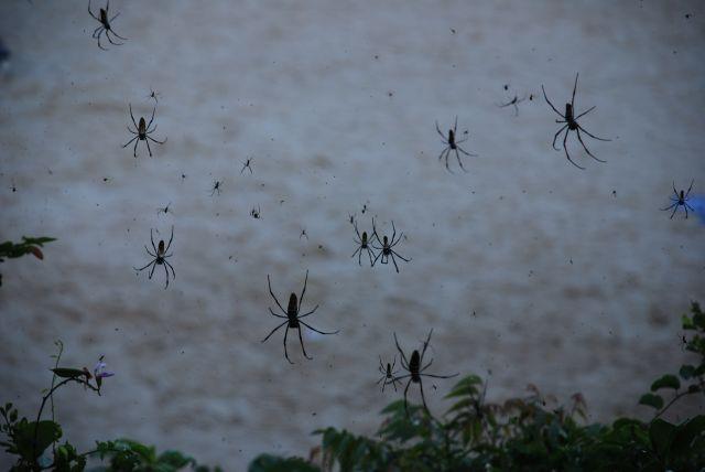 Zdjęcia: okolice Mombasy, Wybrzeże, Pająki, KENIA