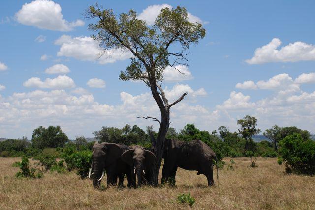 Zdjęcia: SAFARI, Masai Mara, Słonie szukaja cienia, KENIA