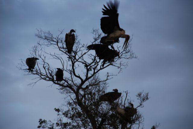Zdjęcia: SAFARI, Masai Mara, Marabut atakujący sępa, KENIA