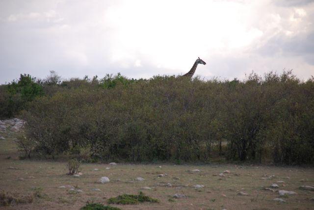 Zdjęcia: SAFARI, Masai Mara, Z  żyrafą w tle, KENIA