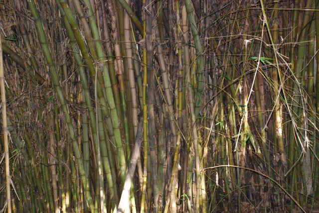 Zdjęcia: Farma Krokodyli, Okolice Mombasy, Bambus, KENIA