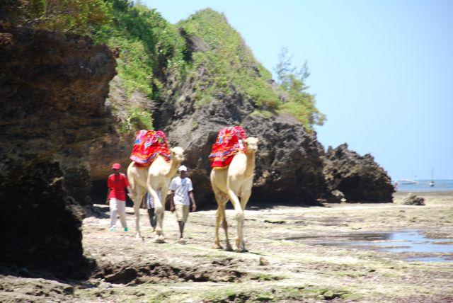 Zdjęcia: okolice Mombasy, Wybrzeże, Wielbłądy na spacerze, KENIA