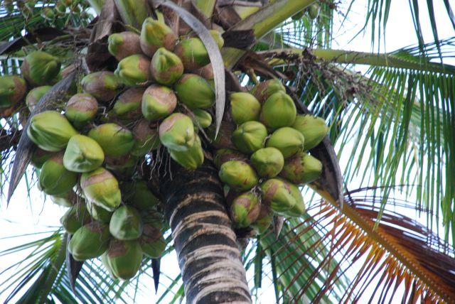 Zdjęcia: Teren przy hotelu Shanzu Palm i Coral Beach, Wybrzeże, Kokosy, KENIA