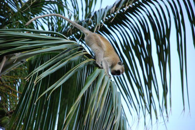 Zdjęcia: Teren przy hotelu Shanzu Palm i Coral Beach, Wybrzeże, Małpka, KENIA