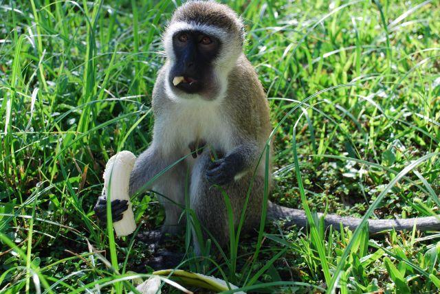 Zdjęcia: okolice Mombasy, Wybrzeże, Małpka z bananem, KENIA