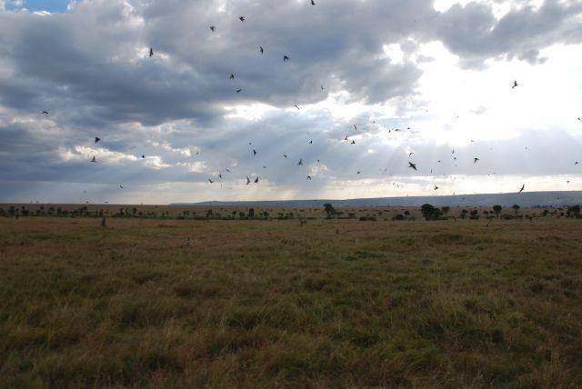Zdjęcia: SAFARI, Masai Mara, Widoczek, KENIA