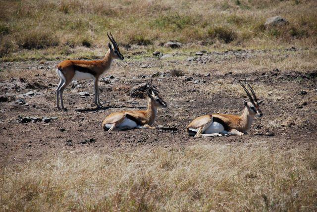 Zdjęcia: SAFARI, Masai Mara, Zwierzyna na safari, KENIA