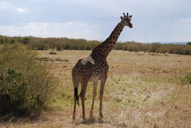 Zdjęcia: SAFARI, Masai Mara, Żyrafa, KENIA